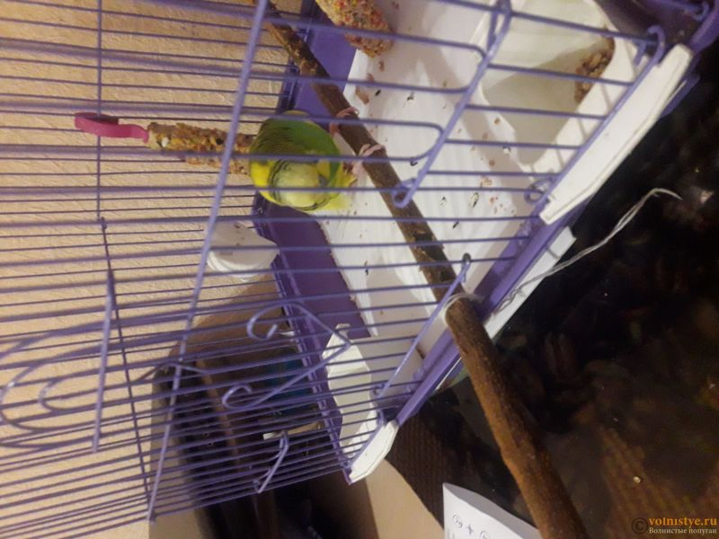 Опухоль на животе и шее у волнистого попугая - 1.jpg