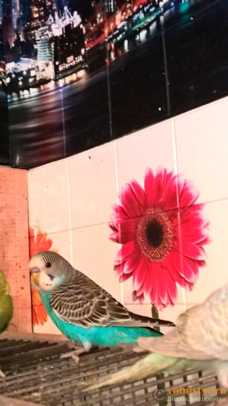 Волнистые попугаи(малыши)Мытищи-Медведково - Без названия.png