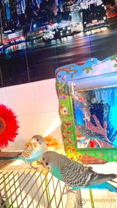 Волнистые попугаи(малыши)Мытищи-Медведково - Без названия (7).png