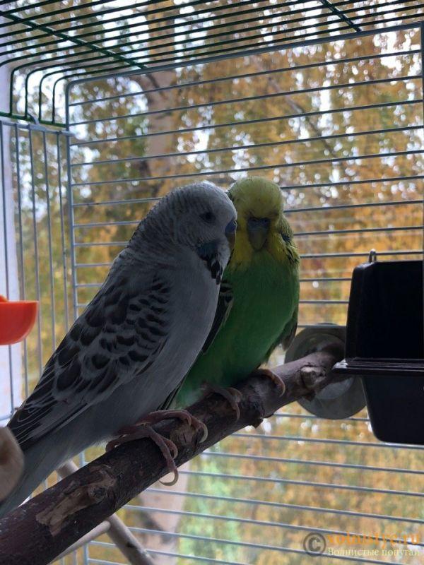 Определение пола и возраста попугаев № 11 - pW06NfysR1k.jpg