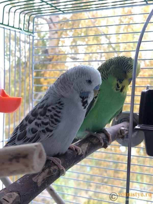 Определение пола и возраста попугаев № 11 - RrMrnC1Lqus.jpg