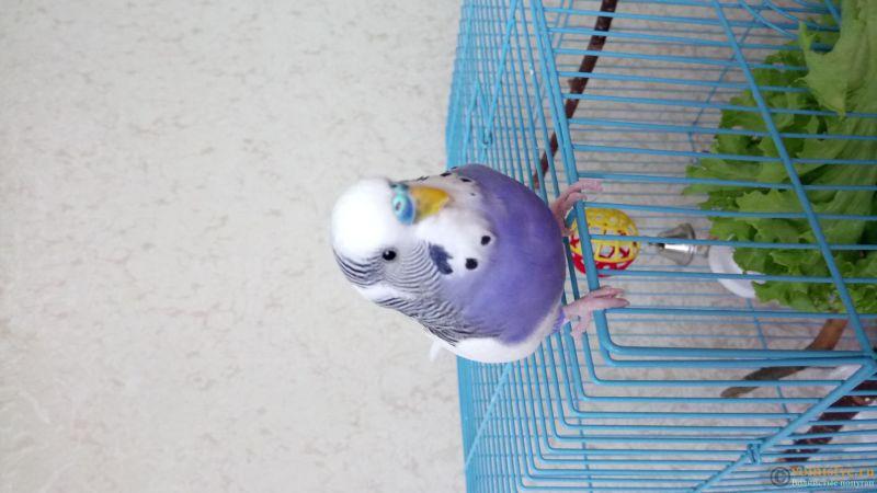 Фотографии  для статьи  окрасы волнистых попугаев - DSC_1155.JPG
