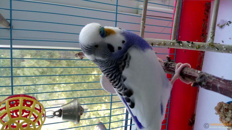 Фотографии  для статьи  окрасы волнистых попугаев - DSC_1747.JPG