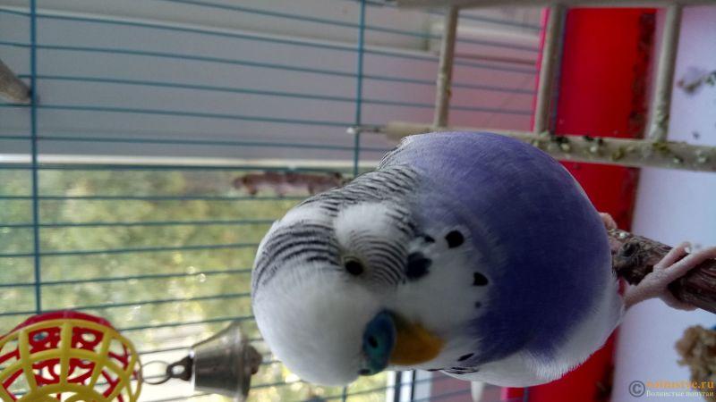 Фотографии  для статьи  окрасы волнистых попугаев - DSC_1748.JPG