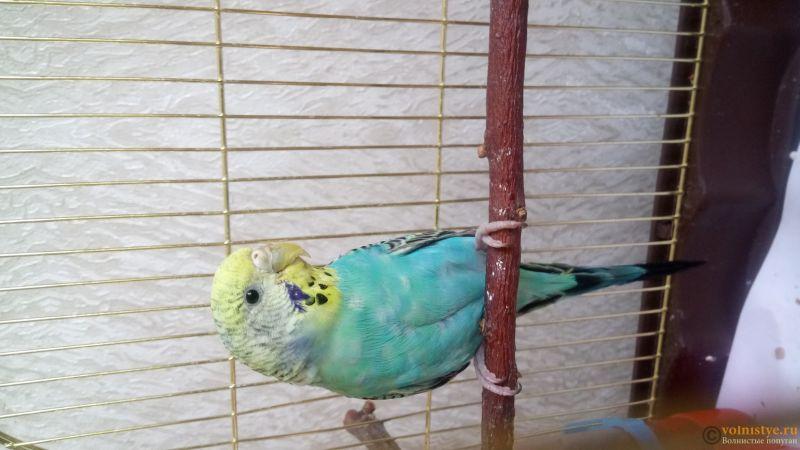 Фотографии  для статьи  окрасы волнистых попугаев - DSC_1742.JPG