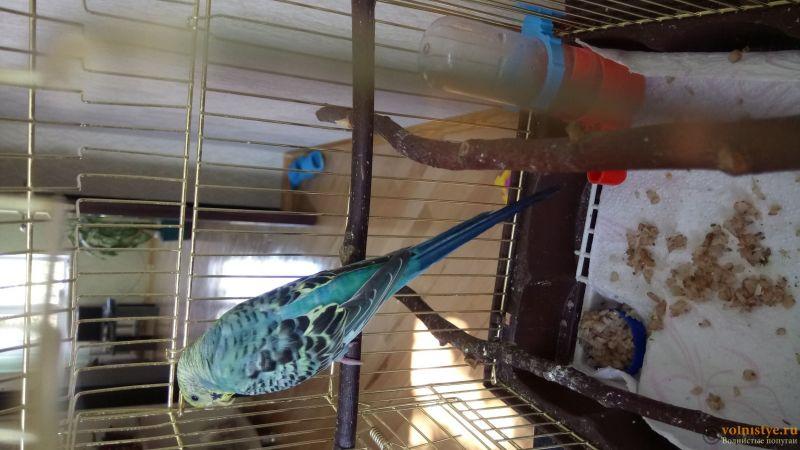 Фотографии  для статьи  окрасы волнистых попугаев - DSC_1763.JPG