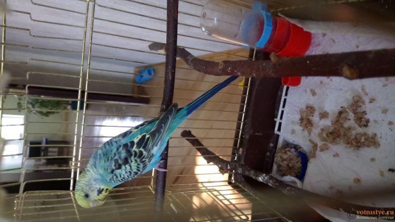 Фотографии  для статьи  окрасы волнистых попугаев - DSC_1761.JPG
