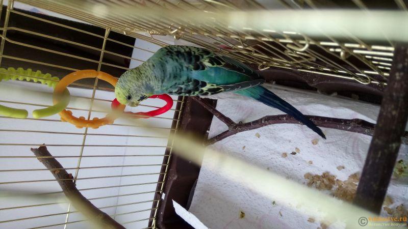 Фотографии  для статьи  окрасы волнистых попугаев - DSC_1753.JPG