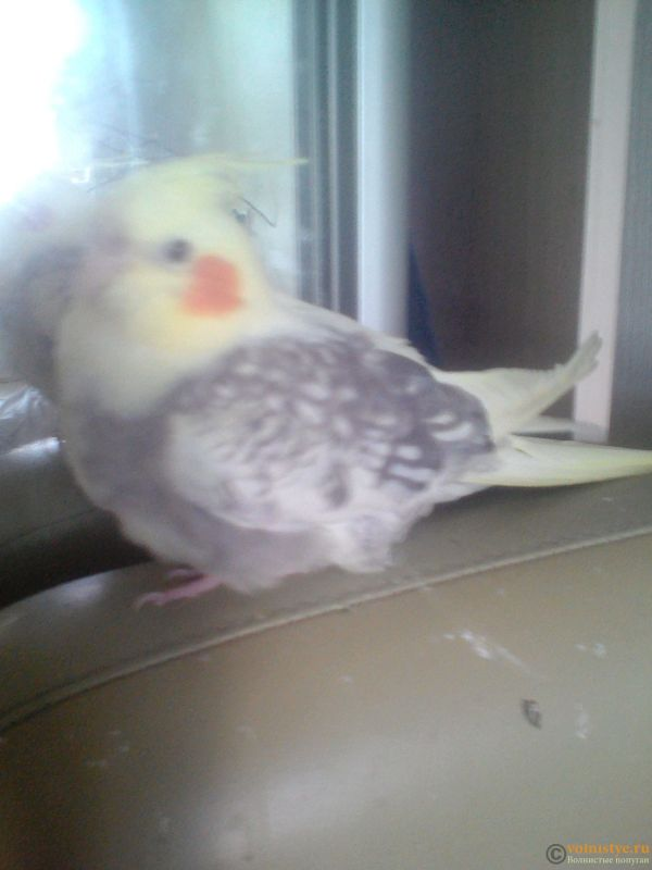 Определение пола и возраста попугаев корелла - 1538824385965504784777.jpg
