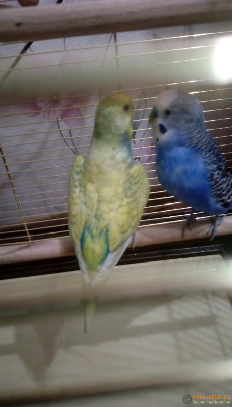 Окрасы волнистых попугаев - IMAG1521.png