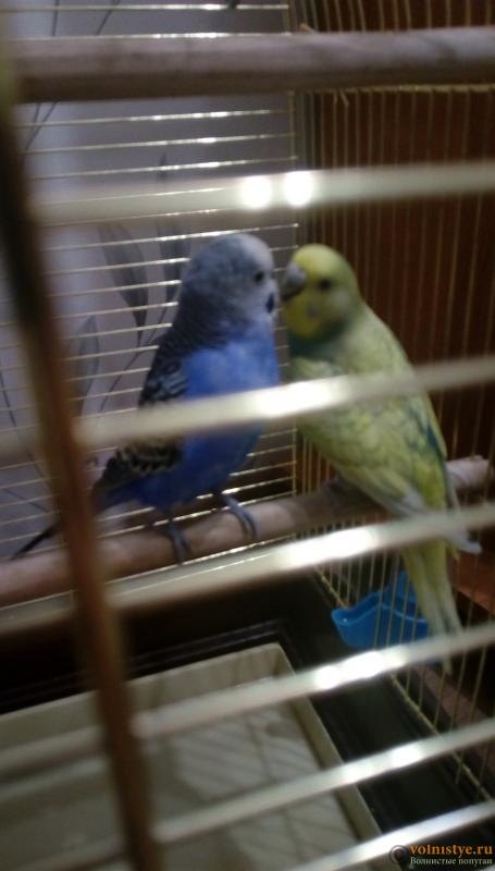 Окрасы волнистых попугаев - IMAG1515.png