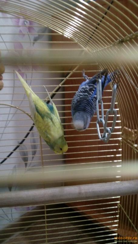 Окрасы волнистых попугаев - IMAG1512.png