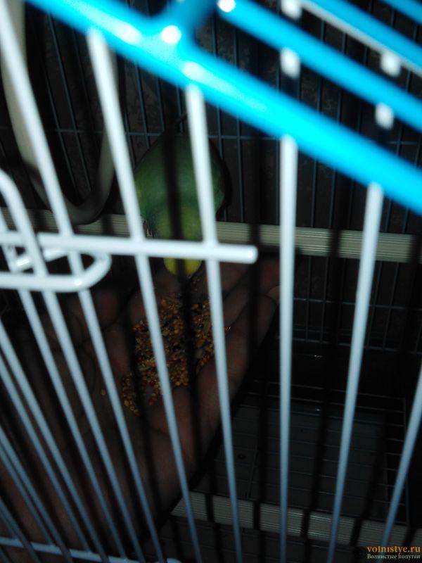 Первые дни дома. Приучение попугая к рукам. - IMG-1b27b23514cdaacf7ef89977aff0b01e-V.jpg
