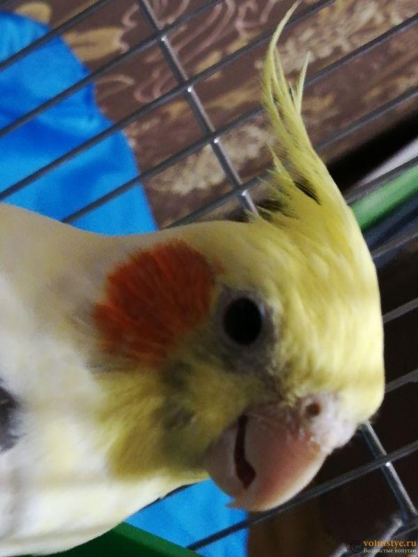 Определение пола и возраста попугаев корелла - IMG_20181020_201457.jpg