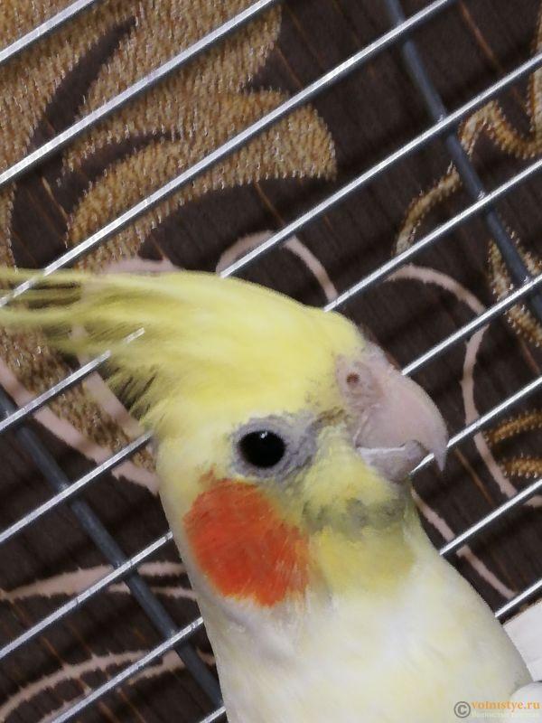 Определение пола и возраста попугаев корелла - IMG_20181020_200927.jpg