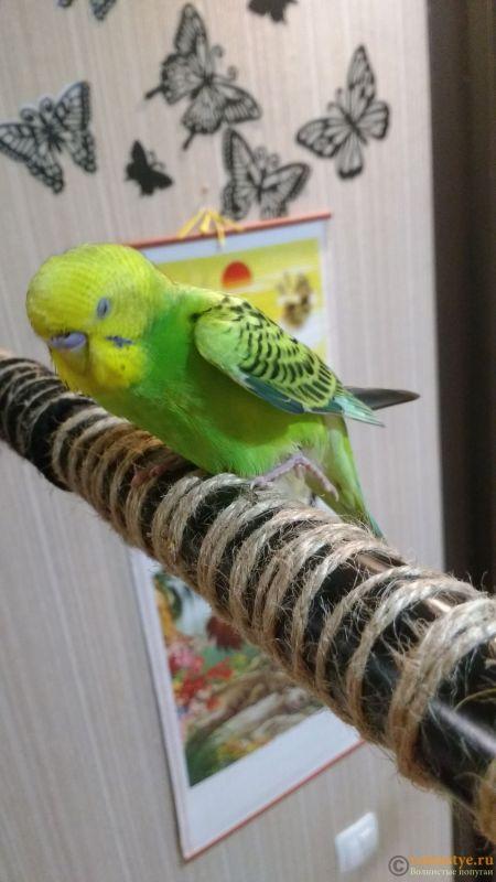 Волнистый попугайчик вывихнул или сломал лапку - IMG_20181103_171254639.jpg