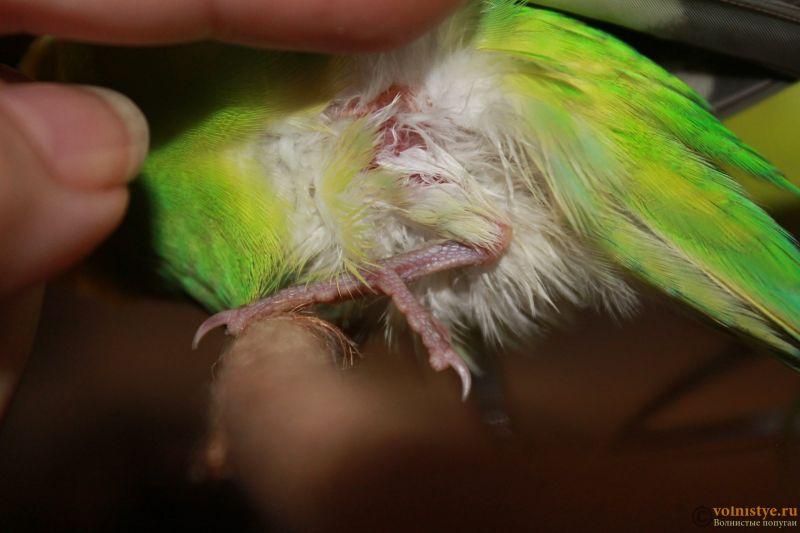 Волнистый попугайчик вывихнул или сломал лапку - 3.JPG