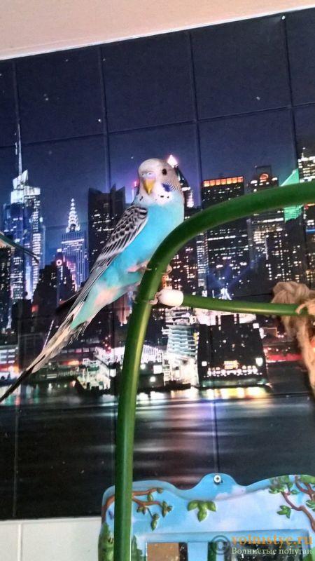 Волнистые попугаи-Мытищи-Москва - WP_20181028_14_31_17_Pro.jpg