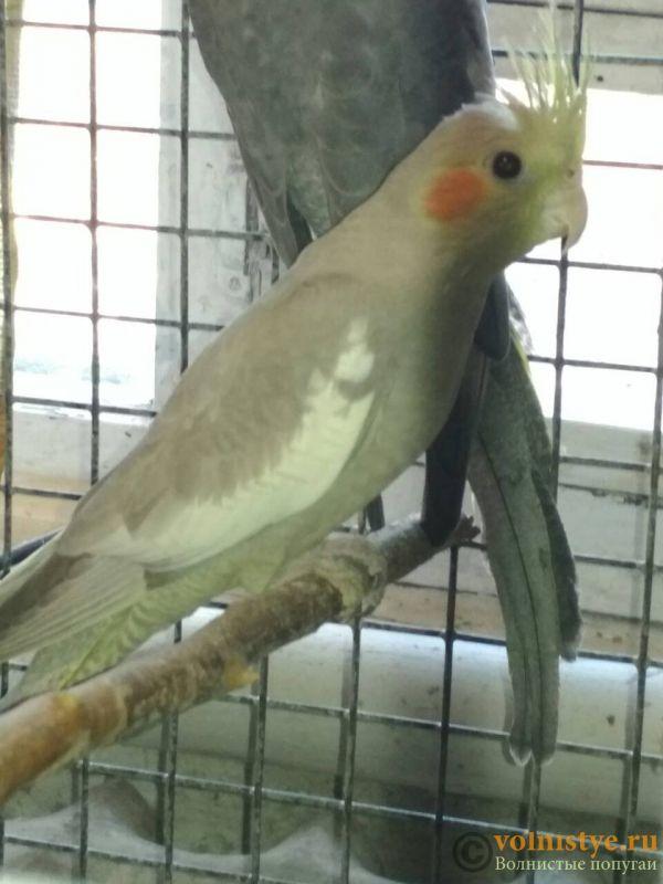 Определение пола и возраста попугаев № 11 - IMG-190ef942896f107ebc8426a4bc7564cf-V.jpg