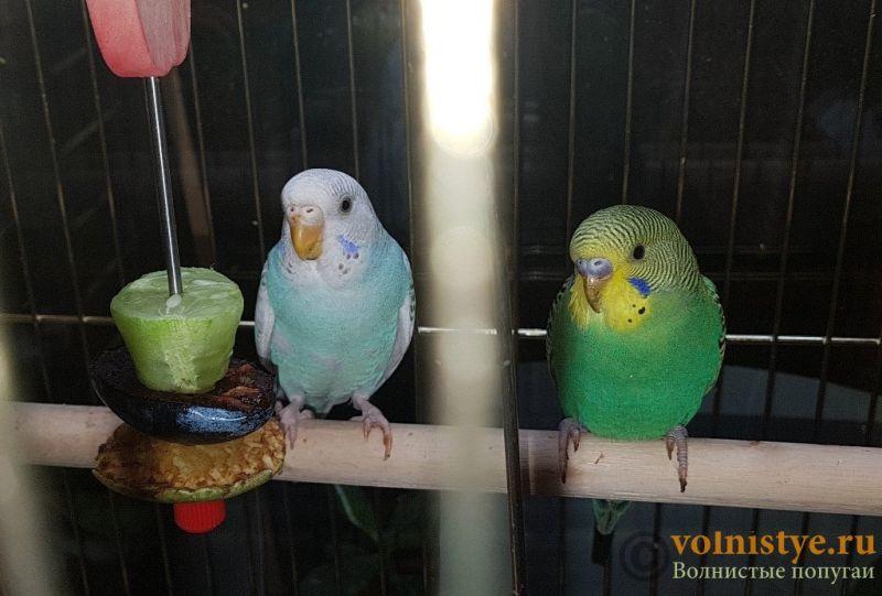 Определение пола и возраста попугаев № 11 - 20181114_182440.jpg