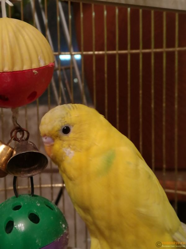 Определение пола и возраста попугаев № 11 - IMG_20181113_194406.jpg