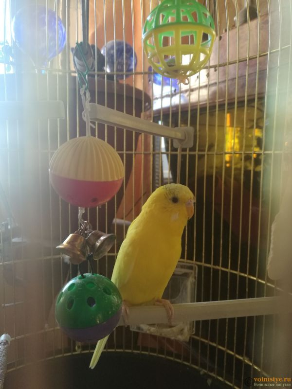 Определение пола и возраста попугаев № 11 - IMG_20181116_120740.jpg