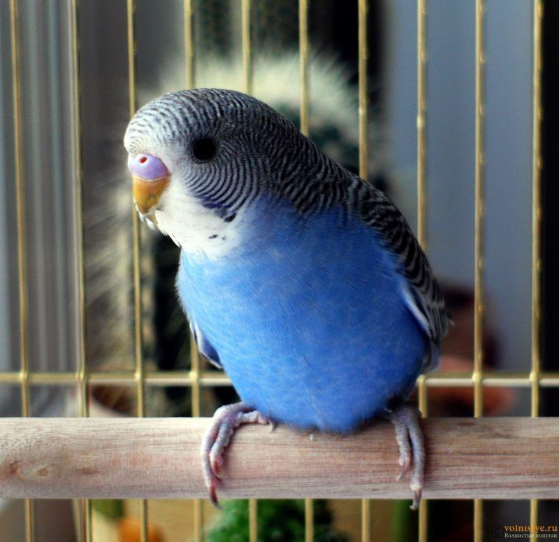 Определение пола и возраста попугаев № 11 - SAM_5919.jpg