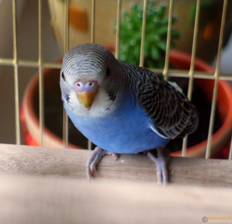 Определение пола и возраста попугаев № 11 - SAM_5927.jpg