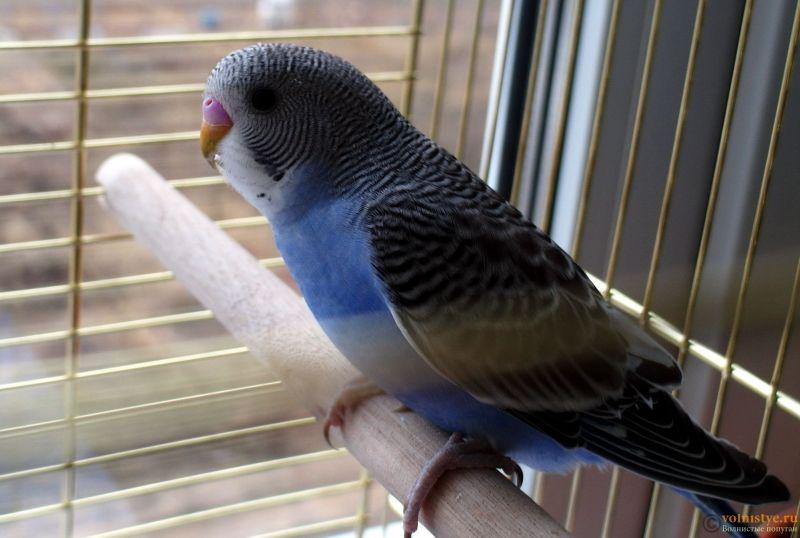 Определение пола и возраста попугаев № 11 - SAM_5925.jpg