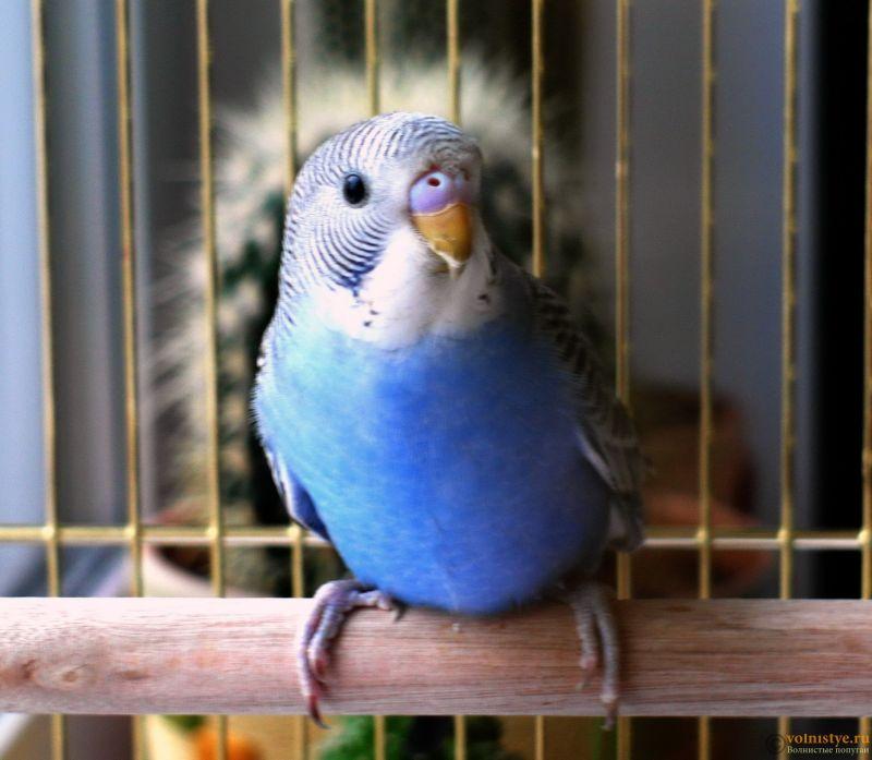 Определение пола и возраста попугаев № 11 - SAM_5920.jpg
