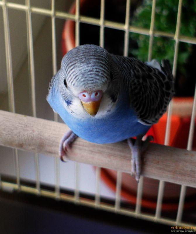 Определение пола и возраста попугаев № 11 - SAM_5924.jpg