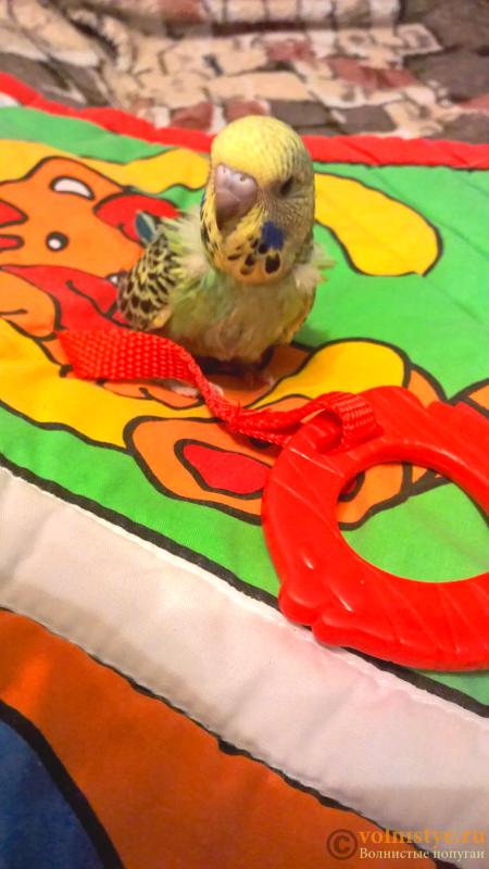 Волнистые попугаи Чехи-бронь на птенцов - Без названия (7).png