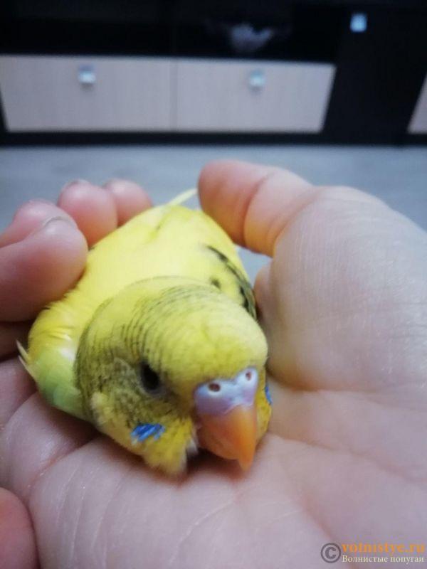 Определение пола и возраста попугаев № 11 - image (2).jpg