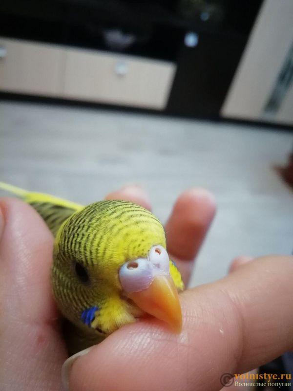 Определение пола и возраста попугаев № 11 - image (3).jpg