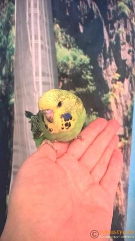 Волнистые попугаи Чехи-бронь на птенцов - Без названия (1).png