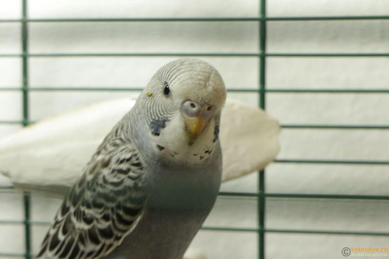 Определение пола и возраста попугаев № 11 - IMG_1381.JPG