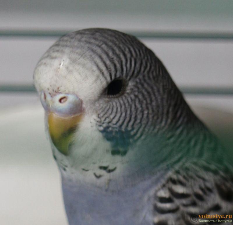 Определение пола и возраста попугаев № 11 - IMG_1377.JPG