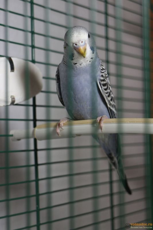 Определение пола и возраста попугаев № 11 - IMG_1376.JPG