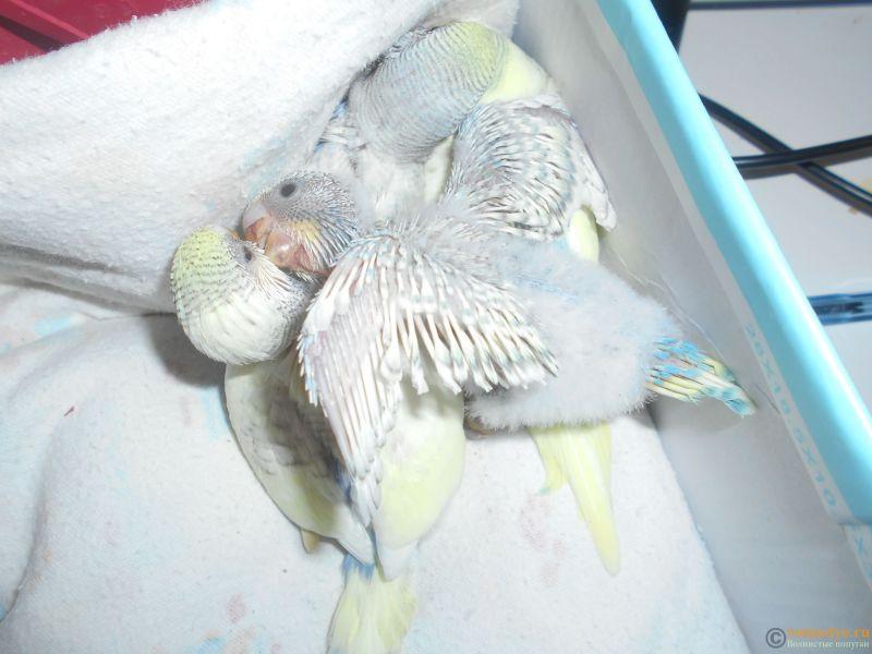 травмированный птен клянчит еду у старших птенцов. - 002 (1).JPG