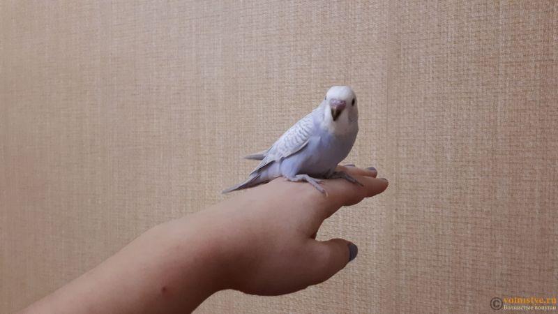 Какого окраса ваши попугаи и какого у них получились птенцы? - 20181224_190804.jpg