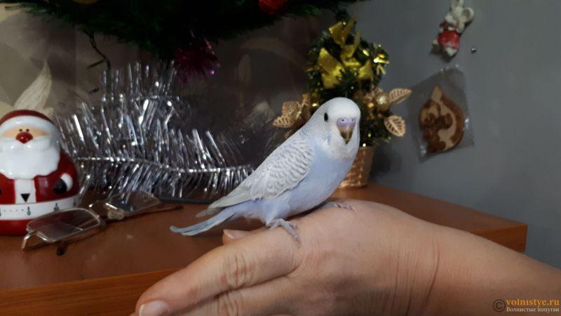 Какого окраса ваши попугаи и какого у них получились птенцы? - 20181230_104844(1).jpg