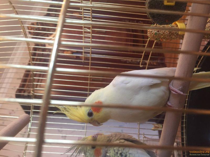 Белый попугай Тоша - image.jpg