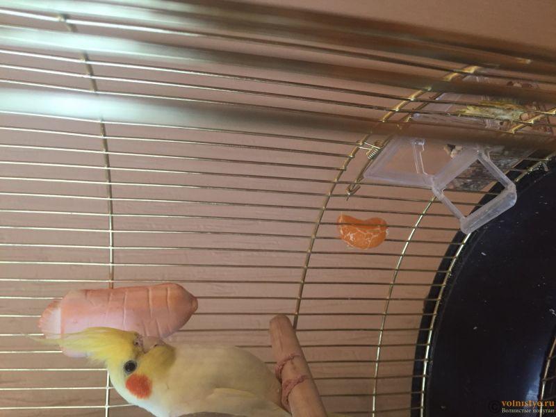 Белый попугай Корелла Тоша ( у него нет выделений) - image.jpg