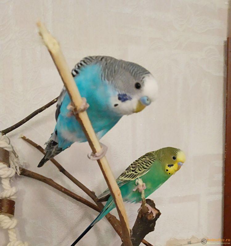 Волнистые попугаи-Птенцы    Мытищи - IMG_20190103_174643 (2).jpg
