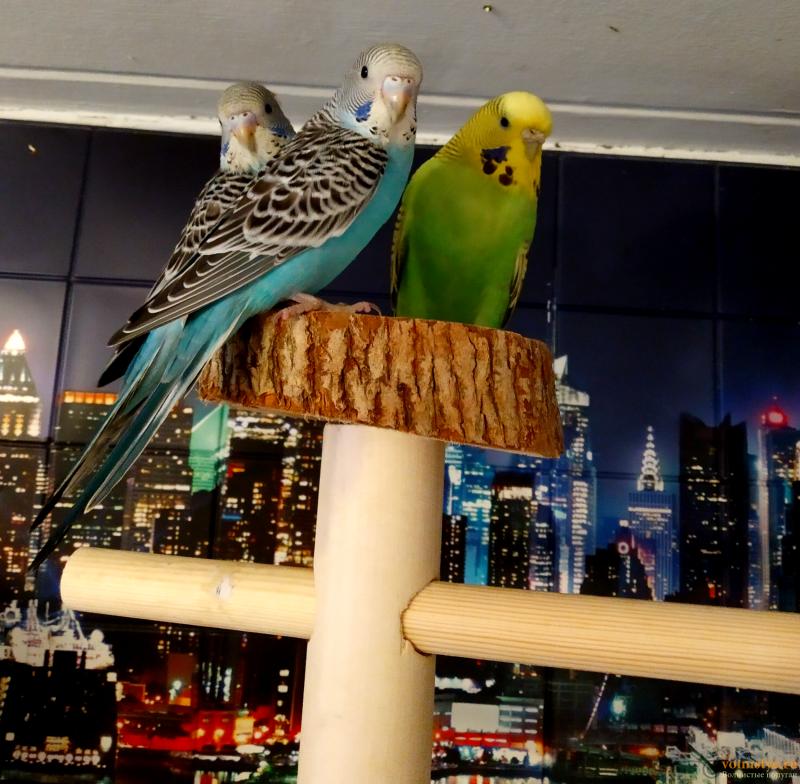 Волнистые попугаи-Птенцы    Мытищи - Без названия (42).png