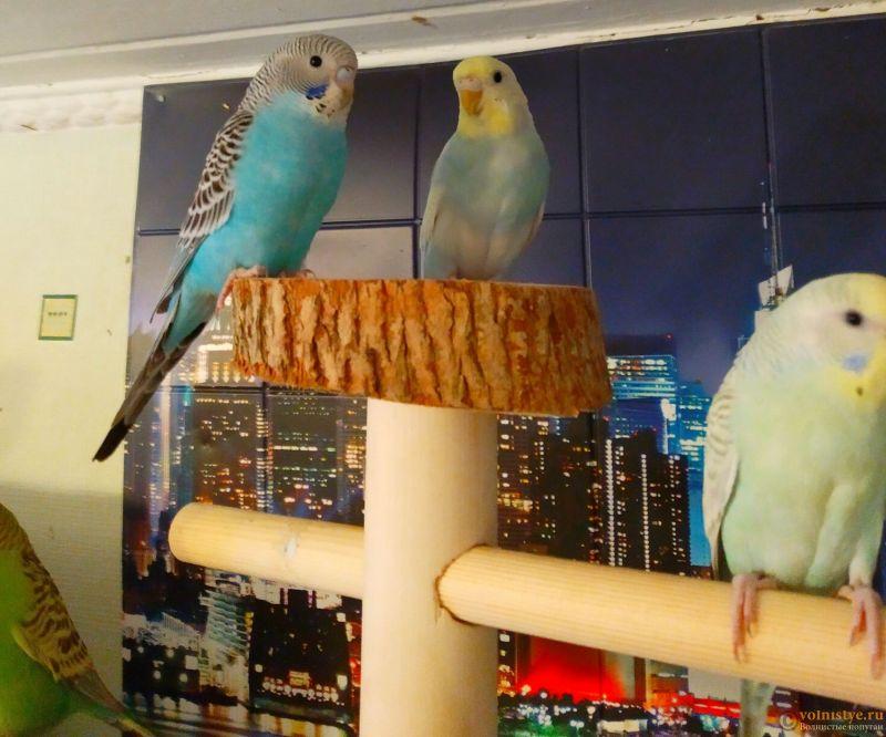 Волнистые попугаи-Птенцы    Мытищи - IMG_20181230_145517 (1).jpg