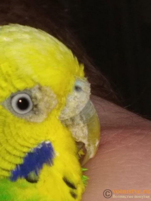 нарост возле глаза попугая - 121.jpg