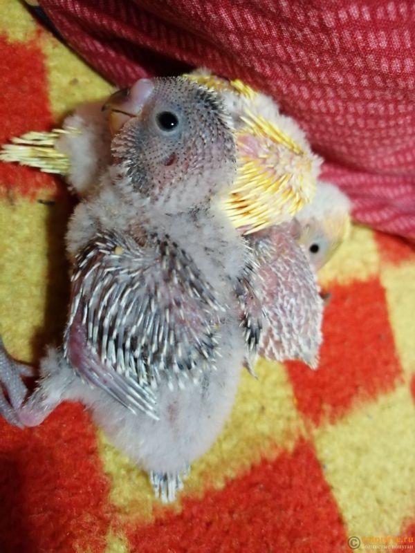 Какого окраса ваши попугаи и какого у них получились птенцы? - IMG_20190123_082250.jpg