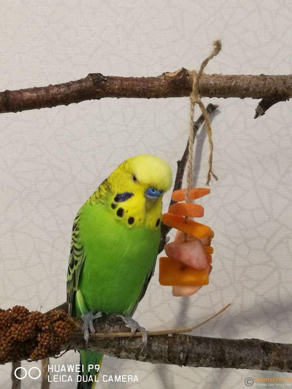 Фотографии  для статьи  окрасы волнистых попугаев - IMG_20181110_153205.jpg