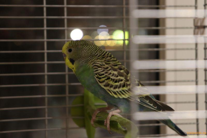 Окрасы волнистых попугаев - 20190128221448_IMG_1037.JPG